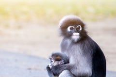 Οι καλοί πίθηκοι, χαριτωμένα γυαλιά Macaque, αστείος πίθηκος ζουν σε ένα natu Στοκ φωτογραφίες με δικαίωμα ελεύθερης χρήσης