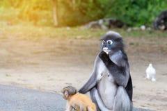 Οι καλοί πίθηκοι, χαριτωμένα γυαλιά Macaque, αστείος πίθηκος ζουν σε ένα natu Στοκ φωτογραφία με δικαίωμα ελεύθερης χρήσης