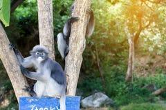 Οι καλοί πίθηκοι, χαριτωμένα γυαλιά Macaque, αστείος πίθηκος ζουν σε ένα natu Στοκ Εικόνα
