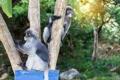 Οι καλοί πίθηκοι, χαριτωμένα γυαλιά Macaque, αστείος πίθηκος ζουν σε ένα natu Στοκ εικόνα με δικαίωμα ελεύθερης χρήσης