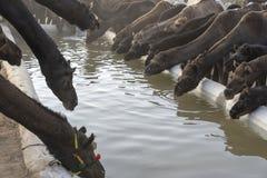 Οι καμήλες πίνουν το νερό στην έρημο Thar κατά τη διάρκεια της έκθεσης καμηλών Pushkar, Rajasthan, Ινδία στοκ εικόνες
