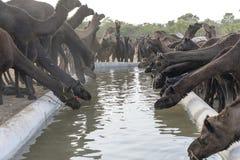 Οι καμήλες πίνουν το νερό στην έρημο Thar κατά τη διάρκεια της έκθεσης καμηλών Pushkar, Rajasthan, Ινδία στοκ εικόνα με δικαίωμα ελεύθερης χρήσης