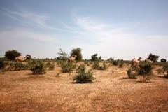 Οι καμήλες Στοκ Εικόνες