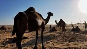 Οι καμήλες, εξετάζουν τον ήλιο στοκ εικόνα με δικαίωμα ελεύθερης χρήσης