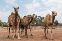 Οι καμήλες στον εσωτερικό Queensland, Αυστραλία, κλείνουν επάνω Στοκ φωτογραφίες με δικαίωμα ελεύθερης χρήσης