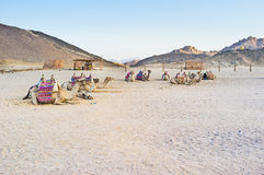 Οι καμήλες Στοκ φωτογραφία με δικαίωμα ελεύθερης χρήσης