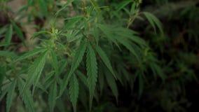 Οι καννάβεις στους φυσικούς όρους Φύλλα της κάνναβης με έναν καπνό φιλμ μικρού μήκους