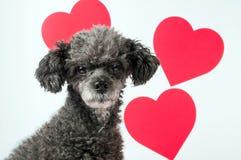 οι καρδιές σκυλιών αγαπ&omi Στοκ Φωτογραφία