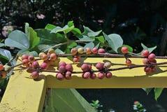 Οι καρποί ενός δέντρου καφέ στοκ φωτογραφίες