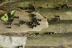 οι καρποί σταφίδων μούρων ανασκόπησης απομόνωσαν το λευκό Στοκ Φωτογραφία