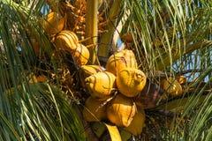 Οι καρποί του φοίνικα καρύδων, Boracay, Φιλιππίνες Στοκ Εικόνα