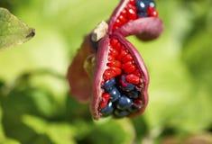 Οι καρποί του anomala Paeonia Στοκ Εικόνα