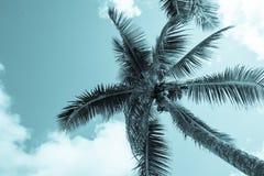 Οι καρύδες κρεμούν ανωτέρω από τους φοίνικες και τα φύλλα ταλαντεύονται στο αεράκι αβ Στοκ φωτογραφίες με δικαίωμα ελεύθερης χρήσης