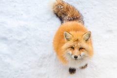 Οι καφετιές αλεπούδες περίμεναν ικετεύουν για τα τρόφιμα Στοκ Φωτογραφία