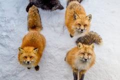 Οι καφετιές αλεπούδες περίμεναν ικετεύουν για τα τρόφιμα Στοκ φωτογραφίες με δικαίωμα ελεύθερης χρήσης