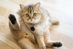 Οι καφετιές γάτες κάθονται ευτυχώς στο πάτωμα στο δωμάτιο στοκ εικόνες