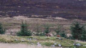 Οι καφετιοί λαγοί, europaeus Lepus, συνεδρίαση, που καθαρίζουν μέσα στο α η σκιαγραφία ενάντια σε ένα βουνό απόθεμα βίντεο