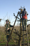 Οι κηπουροί κλαδεύουν τα δέντρα ιτιών, Κάτω Χώρες Στοκ Εικόνα