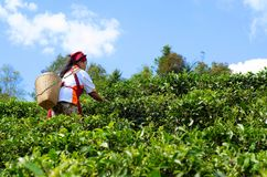 Οι κηπουροί συλλέγουν τα φύλλα τσαγιού στοκ φωτογραφία με δικαίωμα ελεύθερης χρήσης