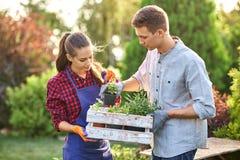 Οι κηπουροί τύπων και κοριτσιών κρατούν το άσπρο ξύλινο κιβώτιο στα χέρια και βάζουν εκεί τα δοχεία με τα σπορόφυτα μια ηλιόλουστ στοκ φωτογραφία με δικαίωμα ελεύθερης χρήσης