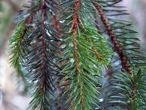 Οι κλάδοι δέντρων πεύκων με τις πτώσεις βροχής του πρωινού δροσίζουν σε έναν κρύο wint Στοκ φωτογραφία με δικαίωμα ελεύθερης χρήσης