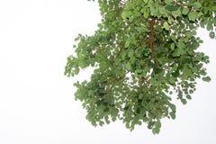 Οι κλάδοι και τα φύλλα είναι πράσινοι σε ένα άσπρο υπόβαθρο Στοκ εικόνες με δικαίωμα ελεύθερης χρήσης