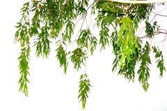 Οι κλάδοι και τα φύλλα είναι πράσινοι σε ένα άσπρο υπόβαθρο Στοκ Εικόνες