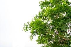 Οι κλάδοι και τα φύλλα είναι πράσινοι σε ένα άσπρο υπόβαθρο Στοκ Φωτογραφίες