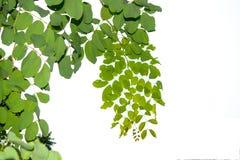 Οι κλάδοι και τα φύλλα είναι πράσινοι σε ένα άσπρο υπόβαθρο Στοκ φωτογραφίες με δικαίωμα ελεύθερης χρήσης