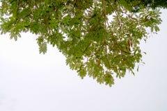 Οι κλάδοι και τα φύλλα είναι πράσινοι σε ένα άσπρο υπόβαθρο Στοκ Εικόνα