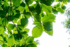 Οι κλάδοι και τα φύλλα είναι πράσινοι σε ένα άσπρο υπόβαθρο Στοκ εικόνα με δικαίωμα ελεύθερης χρήσης