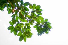 Οι κλάδοι και τα φύλλα είναι πράσινοι σε ένα άσπρο υπόβαθρο Στοκ Φωτογραφία