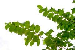 Οι κλάδοι και τα φύλλα είναι πράσινοι σε ένα άσπρο υπόβαθρο Στοκ φωτογραφία με δικαίωμα ελεύθερης χρήσης