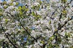 Οι κλάδοι κεράσι-δέντρων στοκ φωτογραφία