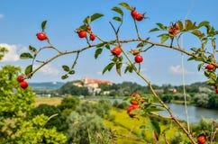 Οι κλάδοι με το κόκκινο αυξήθηκαν άγρια λουλούδια Στοκ Φωτογραφία