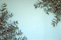 Οι κλάδοι του δέντρου ευκαλύπτων στο τυρκουάζ υπόβαθρο στοκ φωτογραφίες
