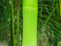 Οι κλάδοι του μπαμπού αφήνουν την όμορφη πράσινη φύση Στοκ Εικόνα