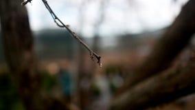 Οι κλάδοι του νέου δέντρου σημύδων βλαστάνουν το τοπίο νύχτας βραδιού άνοιξη φύσης απόθεμα βίντεο