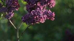 Οι κλάδοι των δέντρων με τα όμορφα ιώδη λουλούδια ταλαντεύονται στον αέρα μια θερμή θερινή ημέρα στον κήπο Φύση απόθεμα βίντεο
