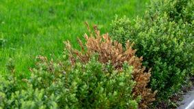 Οι κλαδίσκοι και τα φύλλα του πυξαριού γίνονται κίτρινοι λόγω της ζημίας απορρόφησης στοκ εικόνες με δικαίωμα ελεύθερης χρήσης