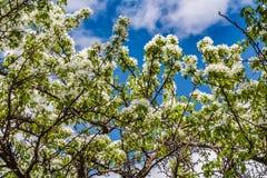 Οι κλαδίσκοι του Apple-δέντρου με τα νέα πράσινα φύλλα και τα άσπρα λουλούδια Στοκ Φωτογραφίες