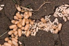 Οι κοινές μαύρες χρυσαλίδες μυρμηγκιών (Lasius Νίγηρας) κλείνουν επάνω στοκ φωτογραφία