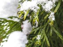 Οι κομψές βελόνες των evergreens καλύπτονται με τα σταγονίδια του πάγου και του χιονιού στοκ εικόνες