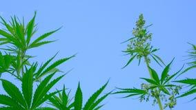 Οι κορυφές της πράσινης κάνναβης ενάντια στο μπλε ουρανό Οι θάμνοι μαριχουάνα ταλαντεύονται τον αέρα Νομική ή παράνομη καλλιέργει απόθεμα βίντεο