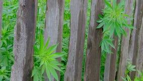 Οι κορυφές της πράσινης κάνναβης κολλούν έξω από πίσω από έναν παλαιό ξύλινο φράκτη Παραδώστε τον ιματισμό κάλυψης σχίζει από ένα απόθεμα βίντεο