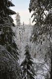 Οι κορυφές των δέντρων έλατου Στοκ Εικόνες