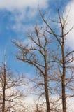 Οι κορυφές των δέντρων, κάνθαροι Στοκ φωτογραφία με δικαίωμα ελεύθερης χρήσης