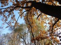 Οι κορυφές των δέντρων με τα όμορφα καφετιά φύλλα σε ένα υπόβαθρο του μπλε ουρανού Στοκ Φωτογραφία