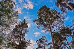 Οι κορυφές των δέντρων με το μπλε ουρανό και τα σύννεφα Στοκ εικόνα με δικαίωμα ελεύθερης χρήσης
