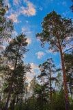 Οι κορυφές των δέντρων με το μπλε ουρανό και τα σύννεφα Στοκ Φωτογραφίες
